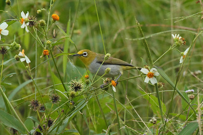 Swinhoe's White-eye / 暗绿绣眼鸟 Nominate subspecies Zosterops simplex simplex Dingbenzai, Zhuqi Township, Chiayi County, Taiwan 12 August 2013