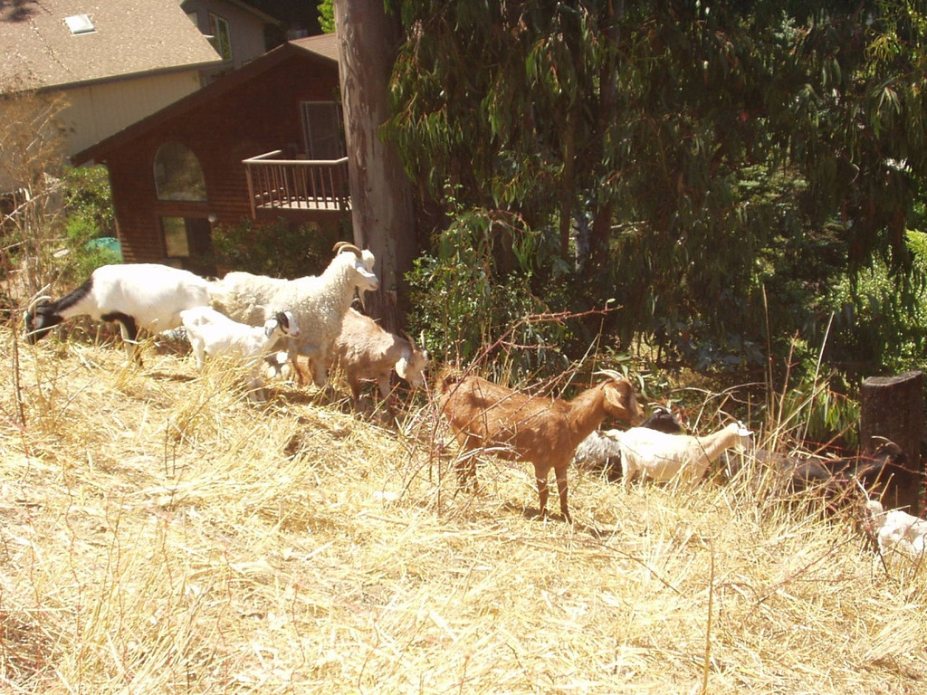 Goats maintaining a fuel break
