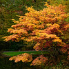 Flaming Japanese Maple