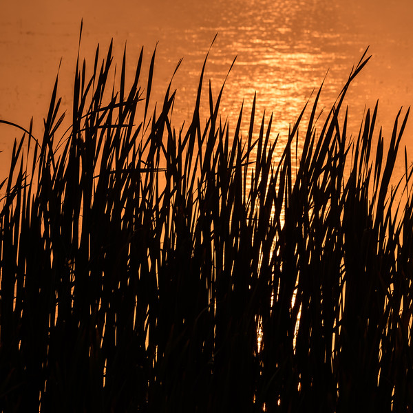 Grass silhoutte at sunrise