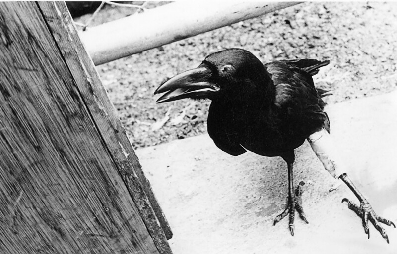 "Many Didn't Come Back... <br /> <br /> and some returned wounded. <br /> <br /> Black Birds, especially Ravens, were a bad omen to the Thais. They were afraid of them. <br /> <br /> This brave airman took a direct hit from a hammer thrown by a Thai worker, and barely survived. His left leg was broken, and if memory serves, the 'cast' was placed with the help of the Base Guard Dog Vet. <br /> <br /> Amazingly, our guy did very well, and the leg soon healed, although the Air Force refused him a Purple Heart.<br /> <br /> Takhli Thailand 1968-1969 Countermeasures troops ECM ""355"" Tac Avionics"