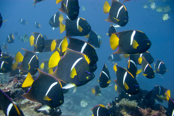 Islote Enderby, Floreana Island, Galapagos, Ecuador; a school of King Angelfish (Holacanthus passer) swim above the rocky reef