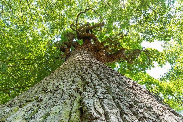 """Die Schöne Eiche soll schon 550 Jahre alt sein. Sie gehört zur Art der Stieleichen und hat vermutlich durch eine Genmutation die Wachstumsform einer Pyramideneiche angenommen. In der ältesten Beschreibung der """"außerordentlichen"""" Eiche von 1781 wird sie """"als eine besondere Hanauische Merkwürdigkeit im Pflanzenreiche"""" beschrieben. Als 1928 ein Blitzeinschlag die Krone zum Einsturz brachte, verlor der Baum einen Teil seiner stattlichen Erscheinung."""