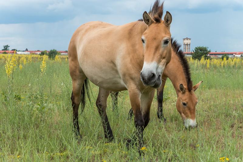 Przewalskipferde in Babenhausen (Foto: Christoph Rau)