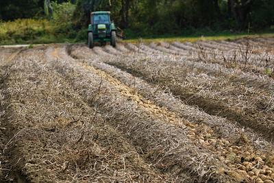 Rows of freshly dug potatoes