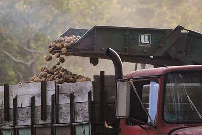 potatoes are moved into the trailer and hauled back the Ferolbink Farms.