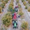 Simonian Farms Pomegranate Harvest