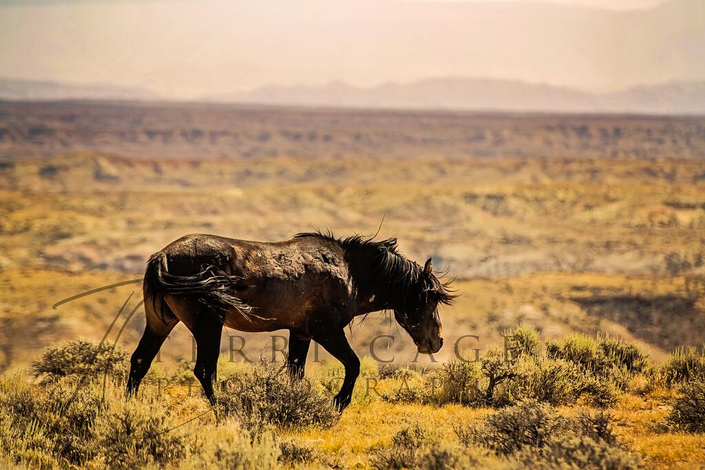 Bachleor Stallion
