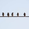 City Birds On A Wire...