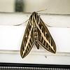 Window Peaking Moth...