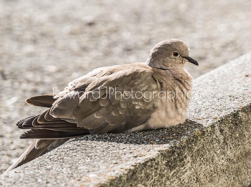 City Pigeon...