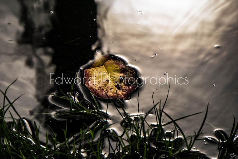 Floating  Leaf in Puddle After The Rain ...