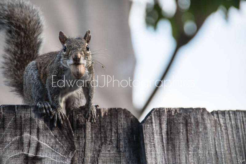Squirrel Early Morning Breakfast Run...