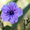 Purple Street Wild Flower...