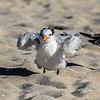 Stretching Beach Bird...