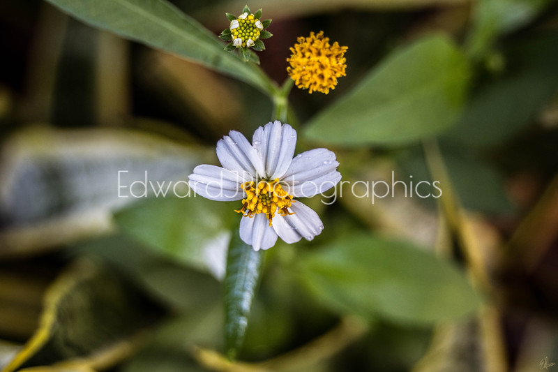 Another Wildflower...