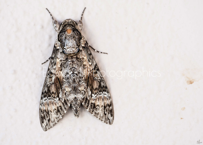 Moth On A Wall...