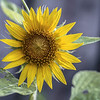 Wild Street Sun Flower...