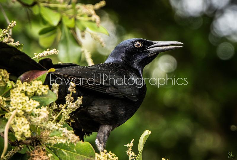 Smiling Crow...