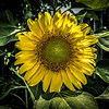 City Street Sun Flower...