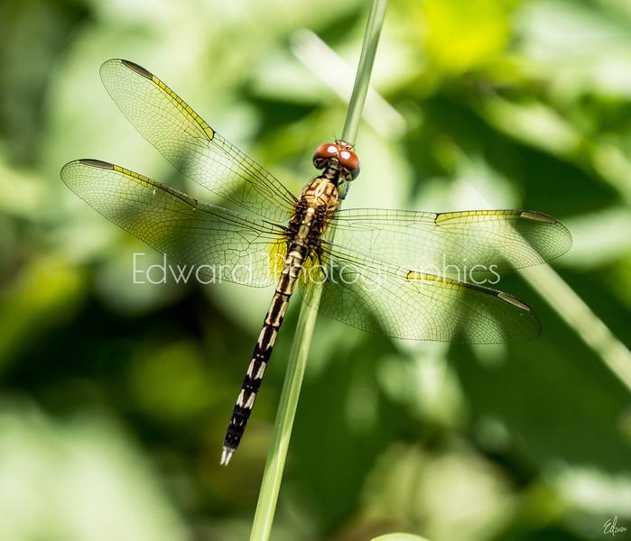 City Dragonfly...