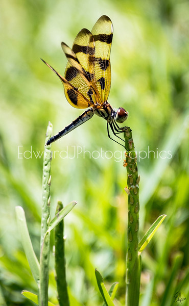 Everglades Dragonfly...