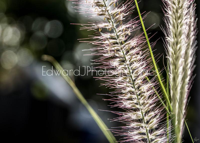 Wild Weed Grass...