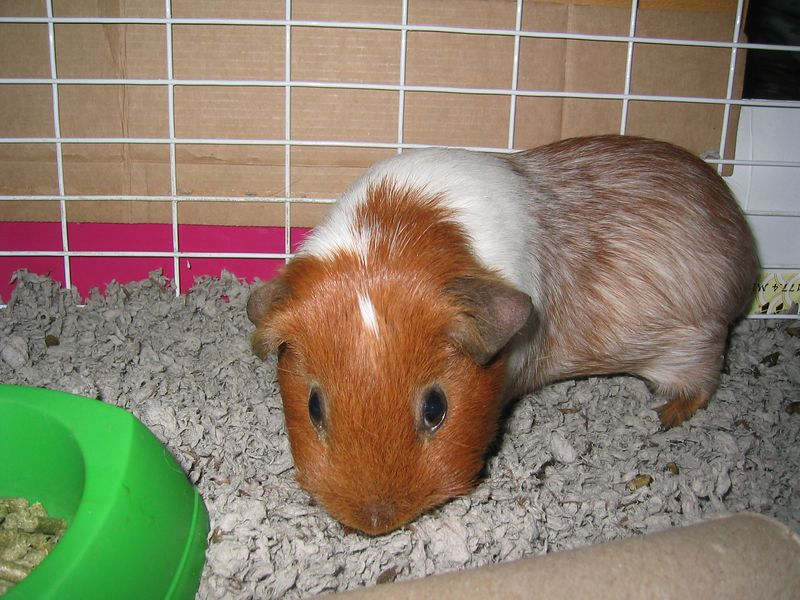 2003 08 15 Friday - Amy Wung's guinea pig, Voilet