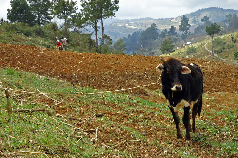 Farmers in the southwest region of Haiti produce 15-20 percent of the staple vegetables consumed in the country.