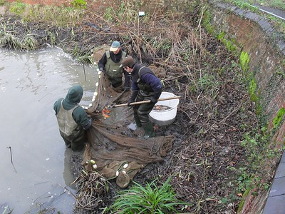 Existing fish being removed from the pond.
