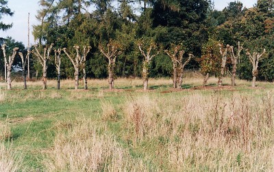 40 lime trees, to be  maintained for use on site.