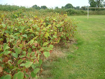 Major problems with Japanese Knotweed on site.