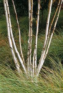 Silver bark of Betula utilis jacquemontii surrounded by Stipa arundinacea