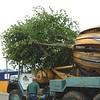 ELD Tree Movnig jpg (2)