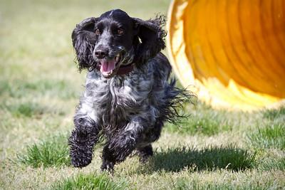 english cocker, fun runs, agility dogs, jackson
