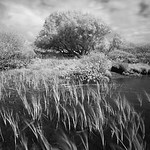 Reeds and Willow, Isle of Islay, Scotland. 2016