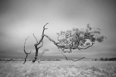 Ravaged Oak, Isle of Islay, Scotland. 2014