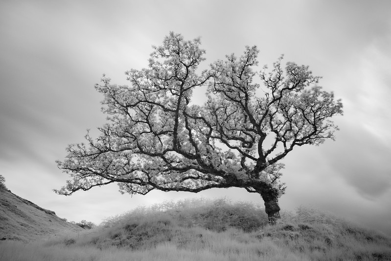 Windswept Oak, Lochaber, Scotland. 2015