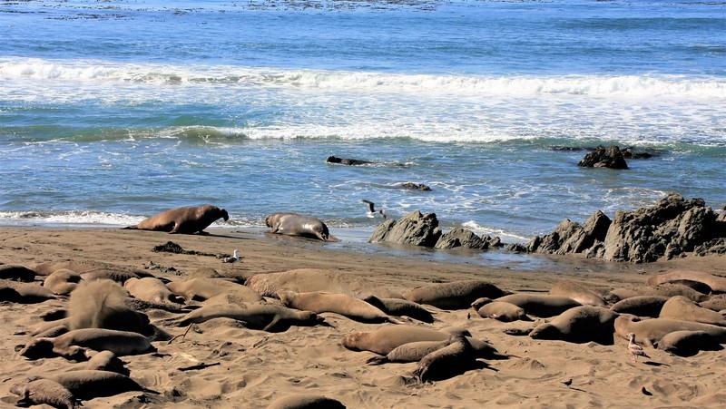ELEPHANT SEALS NEAR BIG SUR