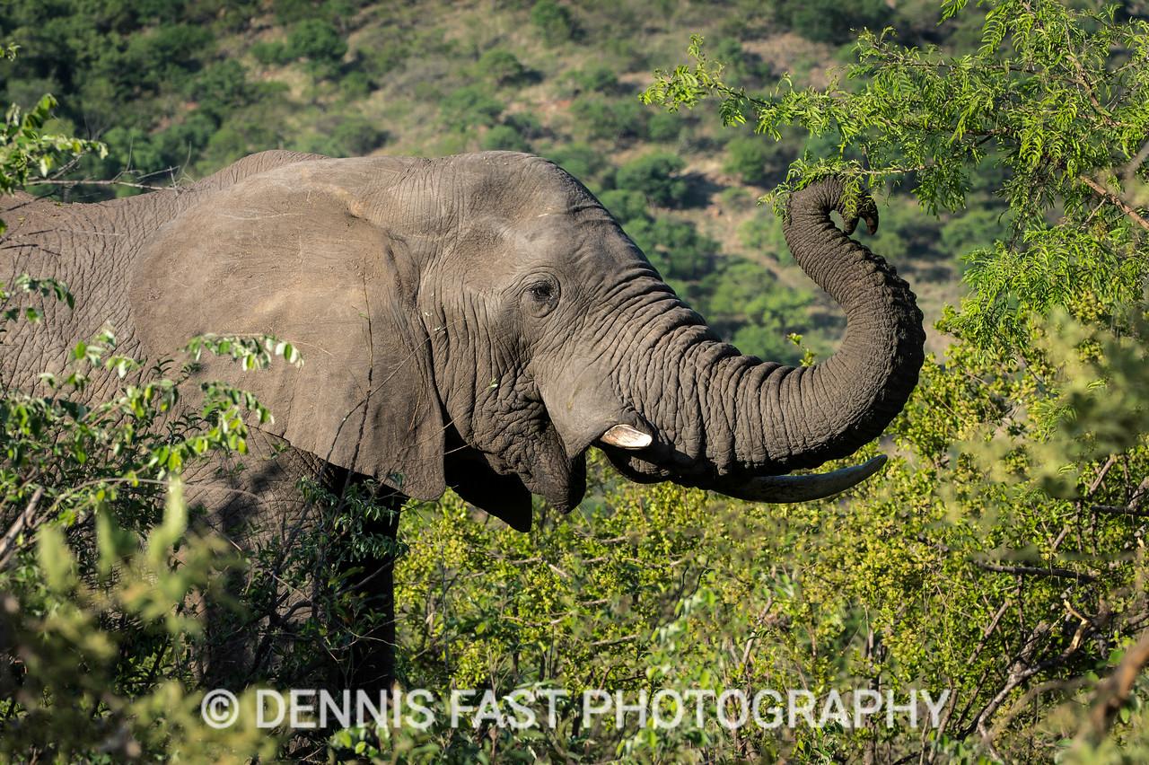 African Elephant (Loxodonta africana) feeding on branches.