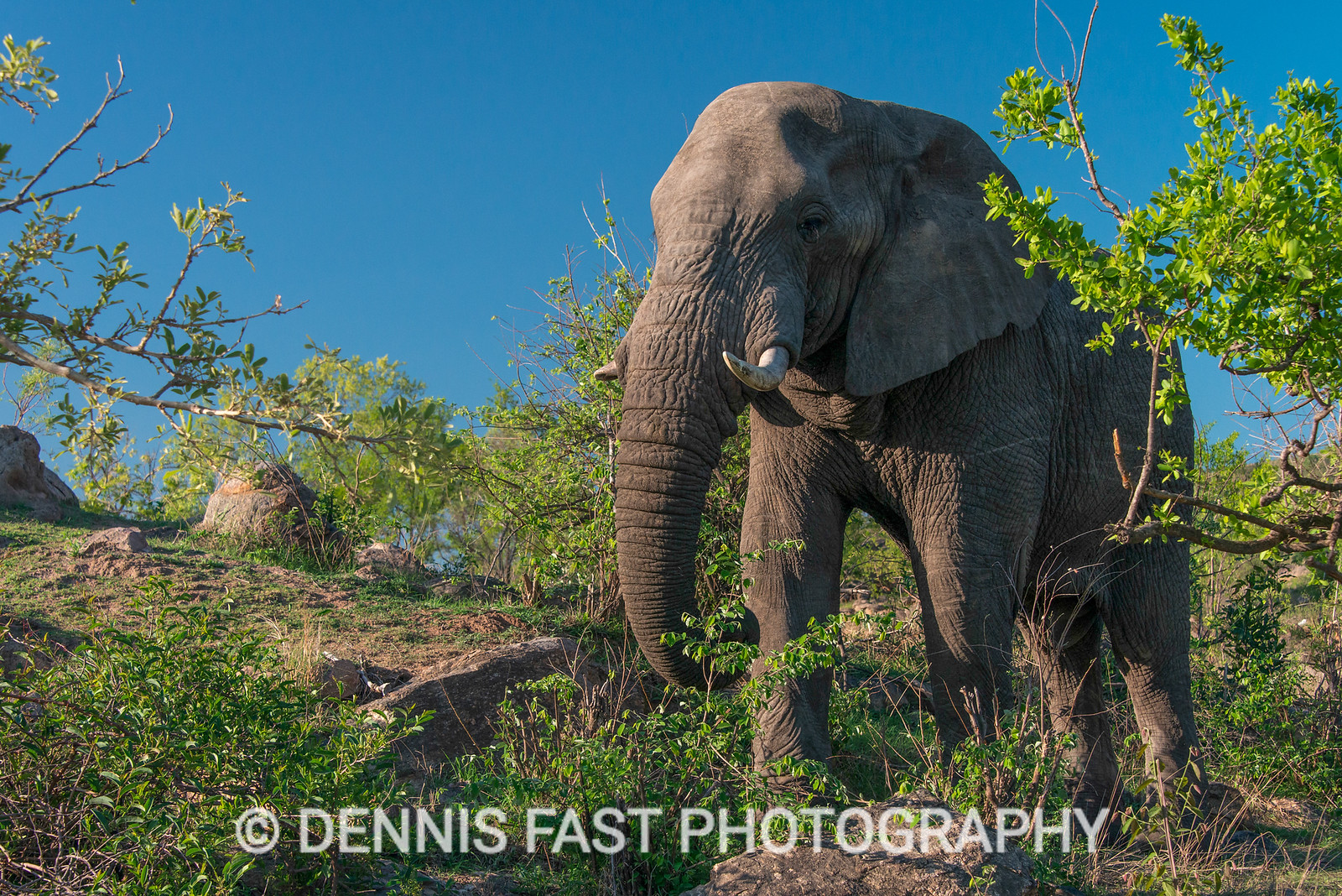 African Elephant (Loxodonta africana) in Kruger National Park, South Africa