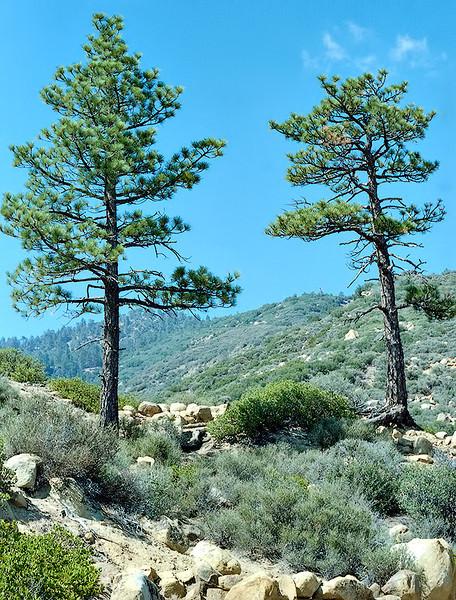The Chorro Grande trail sentinel trees, 11/1984.