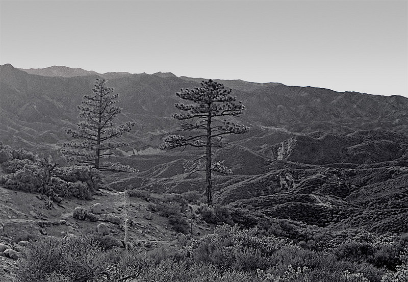 "Looking back to the Sespe while nearing Chorro Spring camp early in the morning, 1979. I watched this tree pair grow for several years; 25 years later I wonder how big they are. Guess I will have to go see, as I understand this area on Pine Mountain has not burned. Addendum: I was sent pointers to recent photos of these trees <a href=""http://picasaweb.google.com/ryan.norma81/ReyesPeak102609#5397353849968184626"">here</a> and <a href=""https://picasaweb.google.com/bardley.smith/20110516_ReyesPeak?feat=content_notification#5607748001436831490"">here</a> and they look tall and healthy."