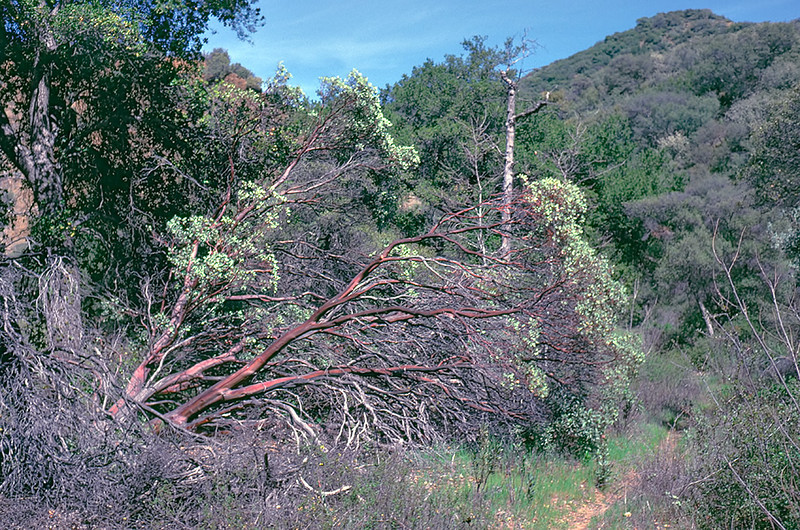 Manzanita in Indian Canyon beyond the junction to Buckhorn. 04/1985.