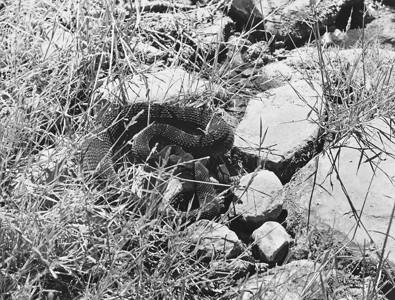 Rattlesnake on the Horn Canyon Trail near the third stream crossing, 08/1987. I went out early to shoot some black and white on Chief Peak.