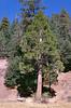 Cedar tree at Haddock camp, Pine Mountain, 11/1984