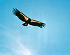 The obligatory Condor shot. Scanned from an old print. I did not take this picture; I believe I bought the print at Really Cheap Sports in Ventura, California in the mid 1980s.