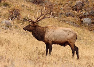Bull Elk hanging out