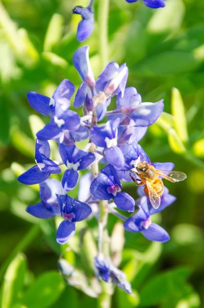 HONEY BEE ON BLUEBONNET PORTRAIT