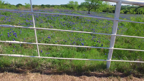 FLY UP AND OVER WHITE FENCE TO REVEAL BLUEBONNETS
